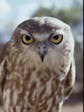 Portrait of a Barking Owl; the Owl Has a Call Similar to a Dogs Bark Photographic Print