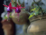 A Fuchsia Blossom Hangs from a Clay Planter Photographic Print by David Evans