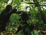 A Pair of Young Gorillas Sparring Photographic Print by Michael Nichols