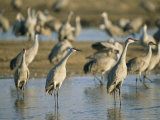 A Group of Sandhill Cranes on the Platte River Photographic Print by Joel Sartore