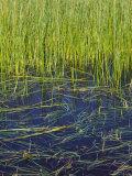 Marram Beach Grass or Ammophila Breviligulata Photographic Print