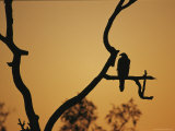 A Silhouetted Whistling Kite Perched in a Dead Tree at Sunset Photographic Print by Jason Edwards