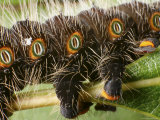 Detail of Feet and Breathing Spiracles of an Imperial Moth Caterpillar Photographic Print by George Grall
