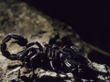 A Scorpion on a Rock in a Borneo Cave Photographic Print by Carsten Peter