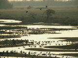 Sandhill Cranes Roost in the Platte River at Sunset Photographic Print by Joel Sartore