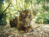 A Captive Sumatran Tiger with a Stressed Expression on Its Face Photographic Print by Jason Edwards