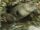 Two Moray Eels Guard the Entrance to Their Den Photographic Print by Bill Curtsinger