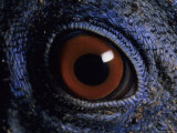 A Close View of the Eye of a Species of Bornean Pheasant Photographic Print by Peter Carsten