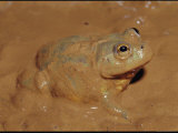 A Water-Holding Frog Emerges from Below Ground after a Desert Flood Photographic Print