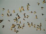 Airborne Sandhill Cranes Photographic Print by Joel Sartore
