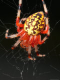 A Marbled Orb Weaver Spider, Araneus Marmoueus, in Its Web Photographic Print by George Grall