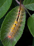 White-Marked Tussock Moth Caterpillar, Prygia Leucostigma, on a Leaf Photographic Print by George Grall