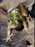 Close View of a Growling Grass Frog Stalking Prey, Also Known as a Southern Bell Frog Photographic Print