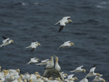 Flocks of Northern Gannets Roost on Cliffs Above the Atlantic Ocean Photographie par Norbert Rosing