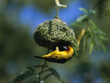 A Weaverbird Hangs Upside Down as It Builds Its Nest in a Mimosa Tree Photographic Print by Peter Carsten