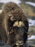A Musk-Ox Bull Stares Balefully at the Camera Photographic Print by John Dunn/Arctic Light
