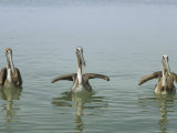 Three Brown Pelicans, Pelecanus Occidentalis, in the Water Photographic Print by Bill Curtsinger