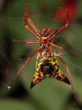 Micrathena Sagittata Spider in Its Web Photographic Print by George Grall