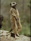 A Captive Meerkat Stands Tall as It Keeps Watch for Danger Photographic Print by Jason Edwards