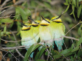 A Group of Rainbow Bee-Eaters Sleeping Huddled Together Reproduction photographique par Jason Edwards