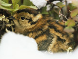 A Willow Ptarmigan Chick, Lagopus Lagopus, Nestled in Vegetation Photographic Print by Bill Curtsinger