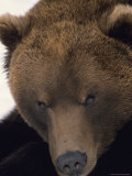 Portrait of a Captive Grizzly Bear Photographic Print by George F. Herben