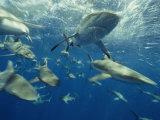 Gray Reef and Other Sharks Rip Through Bikini Lagoon, Marshall Islands, Micronesia Photographic Print