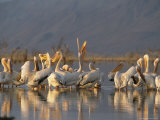 Pelicans in Lake Gummare Near Lake Abbe Photographic Print by Carsten Peter