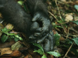 Close View of a Gorillas Hands Photographic Print by Michael Nichols