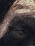 Musk Ox Eye and Horn Photographic Print by George F. Herben