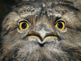 Close View of the Face of a Tawny Frogmouth Bird Photographic Print by Jason Edwards