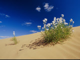 Hearty Wild Stock Wildflowers Growing on a Sand Dune Photographic Print
