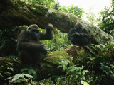 A Pair of Gorillas Sitting on a Moss-Covered Log Photographic Print by Michael Nichols