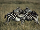 A Pair of Zebras Standing in Long Grass Photographic Print by Tom Murphy