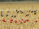 Sandhill Cranes Share a Cornfield with Plastic Pink Flamingos Photographic Print by Joel Sartore