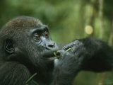 A Juvenile Gorilla Chewing on a Twig and Leaf Photographic Print by Michael Nichols