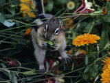 Golden-Mantled Ground Squirrel Among Flowers Photographic Print by George F. Herben