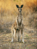 An Eastern Gray Kangaroo with a Joey in Her Pouch Photographic Print by Jason Edwards