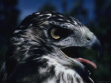 Red-Tailed Hawk Sticks Out Its Tongue Photographic Print by George F. Herben