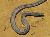 Burtons Legless Lizard on a Patch of Dry Ground Photographic Print by Jason Edwards