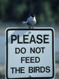 Arctic Tern on a Sign That Says Please Do Not Feed the Birds Photographic Print by George F. Herben
