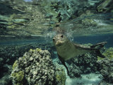 Hawaiian Monk Seal in a Coral Sea Reef, French Frigate Shoals, Hawaiian Islands Fotografisk tryk