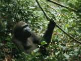 A Gorilla Sitting in a Woodland Setting Photographic Print by Michael Nichols