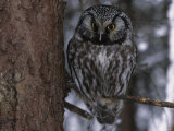 Close up of a Boreal Owl Photographic Print by George F. Herben