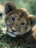 Portrait of an African Lion Cub Photographic Print by Tom Murphy