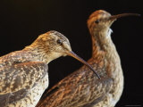 Extinct Eskimo Curlews in an Exhibit Photographic Print