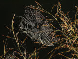 An Orb Weaving Spider Sitting in the Center of Its Web Fotografisk tryk af George Grall