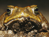 Close View of the Face of a Cane Toad, Bufo Marinus Photographic Print