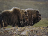 Two Musk-Ox Bulls Standing in Profile Photographic Print by John Dunn/Arctic Light
