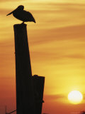 A Silhouetted Brown Pelican Perches on a Post at Sunset Photographic Print by Bill Curtsinger